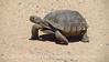 Desert Tortoise, Gopherus agasazii, Barstow CA (8)