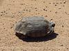 Desert Tortoise, Gopherus agassazii, Barstow CA (1)
