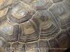 Desert Tortoise, Gopherus agassazii, Barstow CA (3)