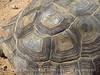 Desert Tortoise, Gopherus agassazii, Barstow CA (2)