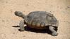 Desert Tortoise, Gopherus agasazii, CA (3)