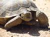 Desert Tortoise, Gopherus agasazii, Barstow CA (3)