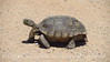 Desert Tortoise, Gopherus agasazii, Barstow CA (7)