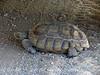Desert Tortoise, Gopherus agasazii, Barstow CA (5)