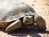 Desert Tortoise, Gopherus agassazii, Barstow CA (8)