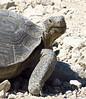 Desert Tortoise, Gopherus agasazii, CA (1)