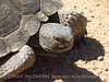 Desert Tortoise, Gopherus agassazii, Barstow CA (6)