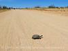 Desert Tortoise, Gopherus agasazii, Barstow CA (6)