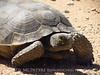 Desert Tortoise, Gopherus agassazii, Barstow CA (10)