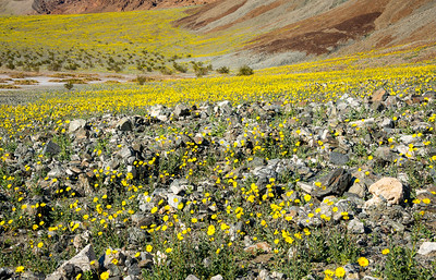 Wildflowers along Badwater Road in Death Valley