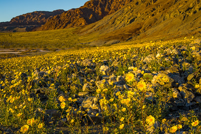Wildflowers near Copper Canyon, Badwater Basin, Death Valley National Park