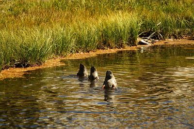 Duck Mooning x 3