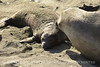 Elephant seal mom and babies, San Simeon CA (11)