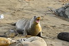 Elephant seal mom and babies, San Simeon CA (36)