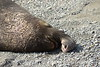 Elephant Seal bull, San Simeon CA rookery (1)