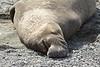 Elephant Seal bull, San Simeon CA rookery (3)