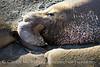 Elephant Seal bull, San Simeon CA rookery (20)