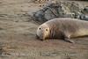 Elephant Seal bull, San Simeon CA rookery (88)