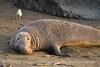 Elephant Seal bull, San Simeon CA rookery (92)