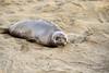 Elephant seal pup, San Simeon, CA (76)