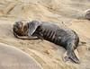 Elephant seal pup, San Simeon, CA (73)