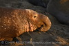 Elephant Seal bull, San Simeon CA rookery (96)