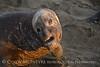 Elephant Seal bull, San Simeon CA rookery (99)