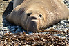 Elephant Seal bull, San Simeon CA rookery (17)