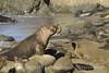 Elephant Seal bull, San Simeon CA rookery (106)