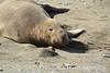 Elephant Seal bull, San Simeon CA rookery (6)