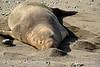 Elephant Seal bull, San Simeon CA rookery (5)