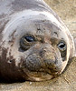 Elephant seal pup, San Simeon, CA (76) copy