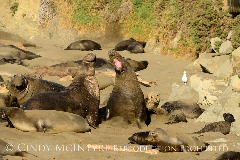 Elephant Seal bull, San Simeon CA rookery (107)