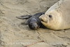Elephant seal mom and babies, San Simeon CA (44)