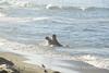 Elephant Seal bull, San Simeon CA rookery (102)