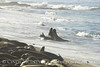 Elephant Seal bull, San Simeon CA rookery (104)