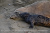 Elephant seal mom and babies, San Simeon CA (54)