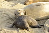 Elephant seal mom and babies, San Simeon CA (24)