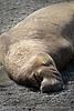 Elephant Seal bull, San Simeon CA rookery (4)