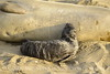 Elephant seal mom and babies, San Simeon CA (22)