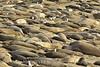 Elephant Seal Rookery, San Simeon, CA (5)