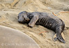 Elephant seal pup, San Simeon, CA (67)