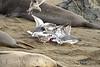 Gulls eating elephant seal placenta, San Simeon CA (4)