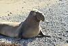 Elephant Seal bull, San Simeon CA rookery (14)