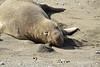 Elephant Seal bull, San Simeon CA rookery (7)