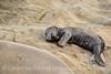 Elephant seal pup, San Simeon, CA (66)