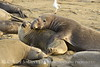 Elephant seal mom and babies, San Simeon CA (29)