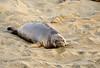 Elephant seal pup, San Simeon, CA (75)