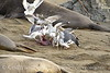 Gulls eating elephant seal placenta, San Simeon CA (5)