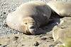 Elephant Seal bull, San Simeon CA rookery (9)